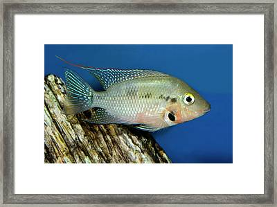 Firemouth Cichlid Framed Print