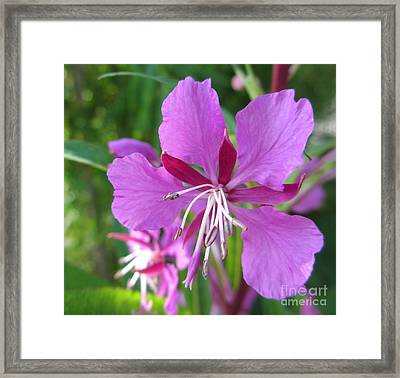 Fireweed 1 Framed Print by Martin Howard