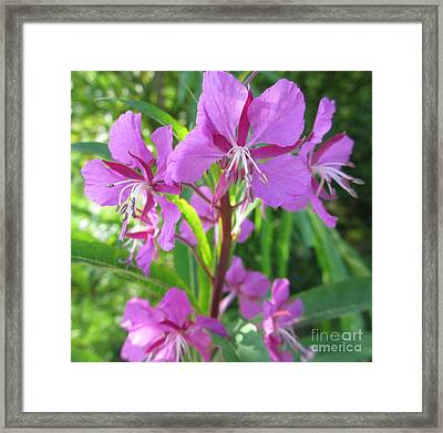 Fireweed 3 Framed Print by Martin Howard