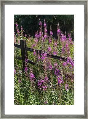 Fireweed  Chamerion Angustifolium Framed Print