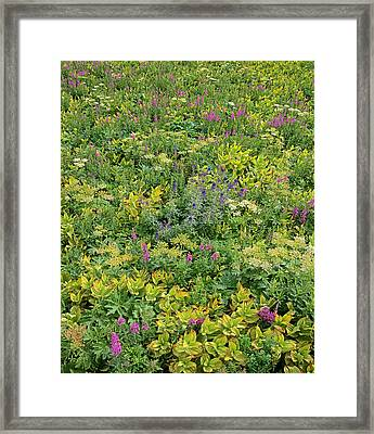 Fireweed Flowering San Juan Mts Colorado Framed Print by Tim Fitzharris