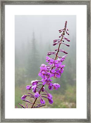 Fireweed, Frosty Covering Framed Print