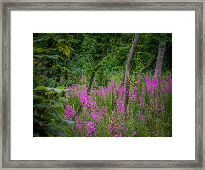 Fireweed In The Irish Countryside Framed Print