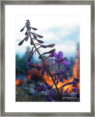 Fireweed Number Five Framed Print
