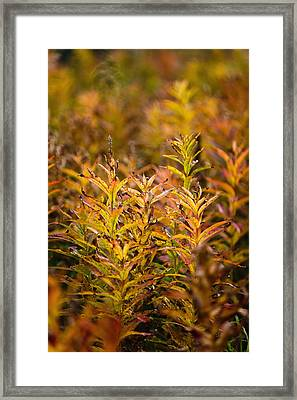 Fireweed With Autumn Colors, Kodiak Framed Print by Kevin Smith