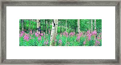 Fireweeds Flowers Among Aspens Framed Print