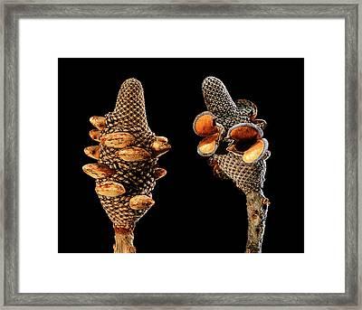 Firewood Banksia (banksia Menziesii) Framed Print by Gilles Mermet
