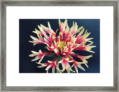 Firework Blooms Framed Print by Melanie Lankford Photography
