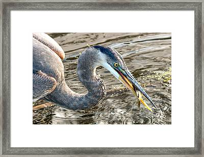 First Catch Of The Day - Blue Heron Framed Print by Doug Underwood