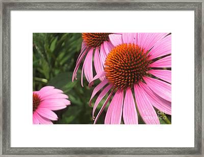 First Cone Flower Framed Print by Cheryl Hardt Art
