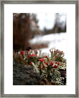 First Lichen Blossom Of The Year Framed Print by Steven Valkenberg