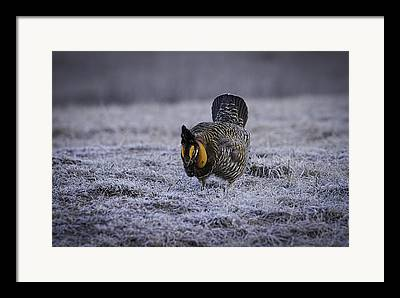 Strutting Prairie Chicken Framed Prints