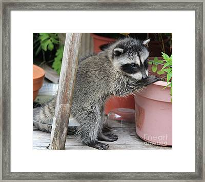 First Look At Baby Coonie Framed Print by Kym Backland