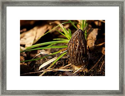 First Morel Mushroom Of Spring Framed Print