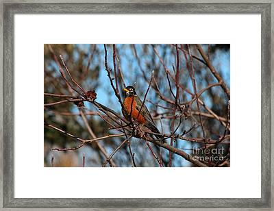First Robin Of 2013 Framed Print by Marjorie Imbeau