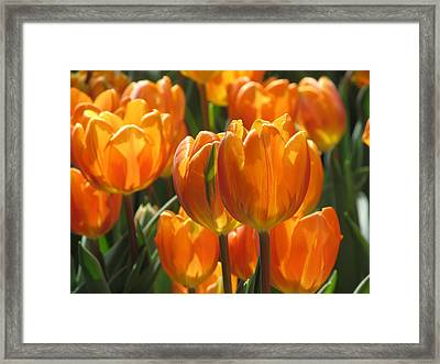 First Tulip Of Spring Framed Print