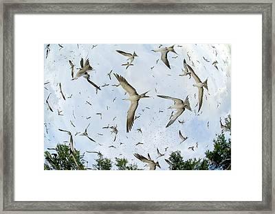 Fish-eye View Of Sooty Terns Flying Framed Print by Paul & Paveena Mckenzie