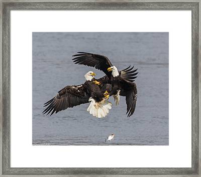 Fish Fight  Framed Print by Glenn Lawrence