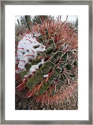 Fish Hook Barrel Cactus With Snow Framed Print by Susan  Degginger