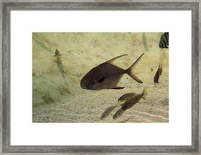 Fish - National Aquarium In Baltimore Md - 121212 Framed Print by DC Photographer