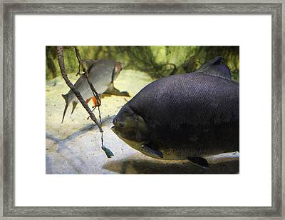 Fish - National Aquarium In Baltimore Md - 1212125 Framed Print by DC Photographer