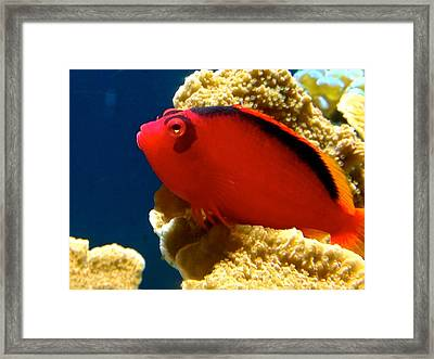 Fish Painted Red Framed Print by Danielle  Broussard
