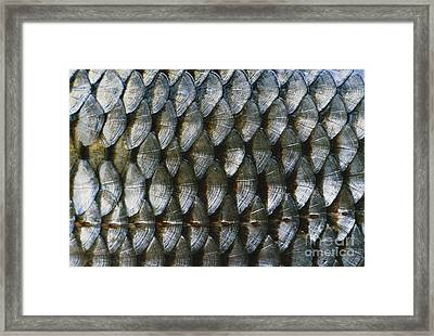 Fish Scales Framed Print by Herbert Schwind