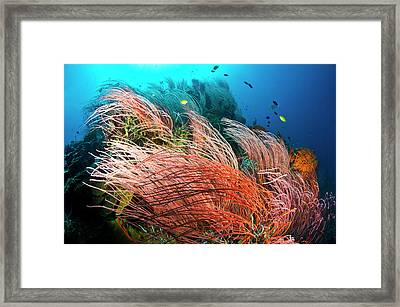 Fish Swim Over The Branches Of Red Whip Framed Print by David Doubilet