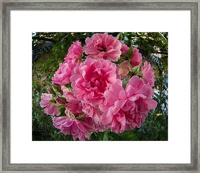 Fisheye Rose Framed Print by Carl Engman