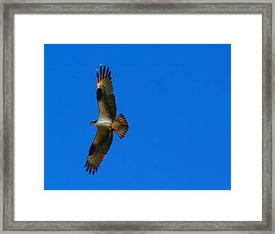 Fishhawk In Flight Framed Print by April Wietrecki Green