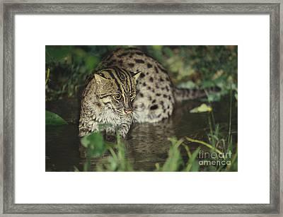 Fishing Cat Framed Print by Art Wolfe