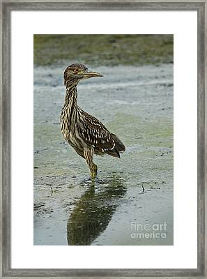 Fishing Lesson At Sunset - Green Heron Framed Print by Inspired Nature Photography Fine Art Photography
