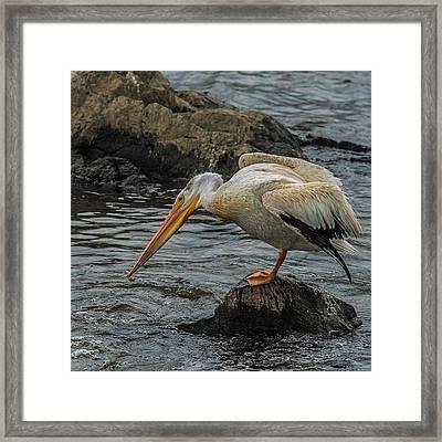Fishing Pelican Framed Print