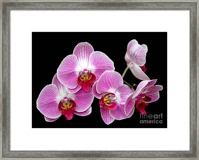Five Beautiful Pink Orchids Framed Print