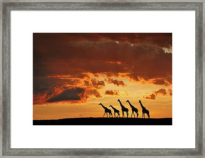 Five Giraffes Framed Print