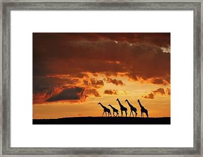 Five Giraffes Framed Print by Muriel Vekemans