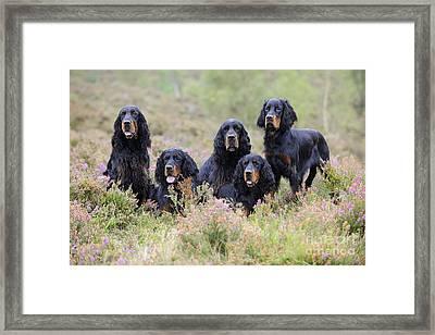 Five Gordon Setters Framed Print by John Daniels