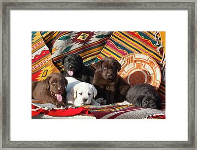 Five Labrador Retriever Puppies Of All Framed Print by Zandria Muench Beraldo