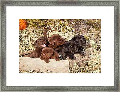 Five Labrador Retriever Puppies Framed Print by Zandria Muench Beraldo