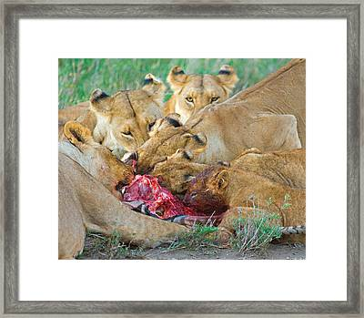 Five Lions Eating A Dead Zebra Framed Print by Panoramic Images