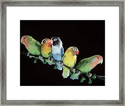 Five Lovebirds Framed Print