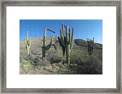 Five Saguaros At Saguaro National Park Az  Framed Print by Brian Lockett