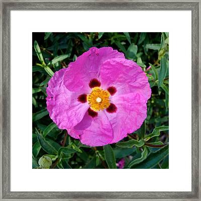 Five-spot Rose Bush In Park Sierra-ca Framed Print by Ruth Hager