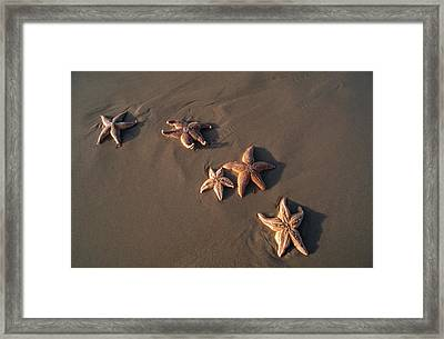 Five Starfish Washed Ashore Framed Print by Norbert Rosing