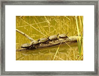Five Turtles On A Log Framed Print by Jeff Swan