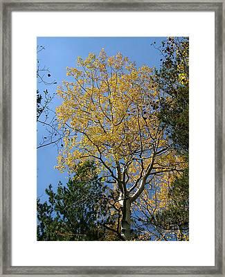 Flagstaff Aspens 784 Framed Print