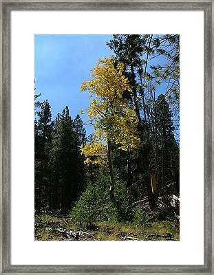 Flagstaff Aspens 786 Framed Print
