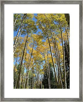 Flagstaff Aspens 794 Framed Print
