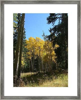 Flagstaff Aspens 801 Framed Print