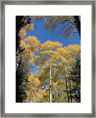 Flagstaff Aspens 803 Framed Print